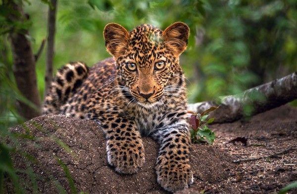 Leopard Invitation was best invitation example